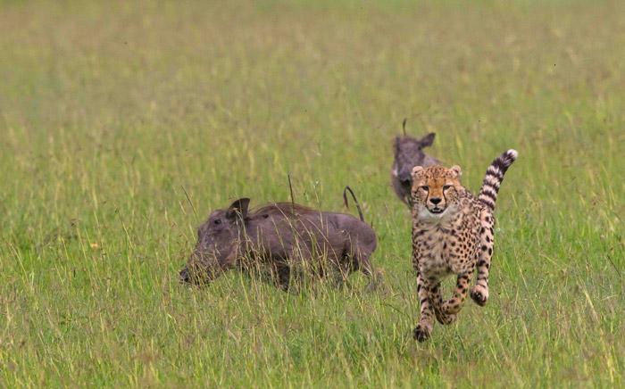 cheetah-warthogs-maasai-mara-kenya