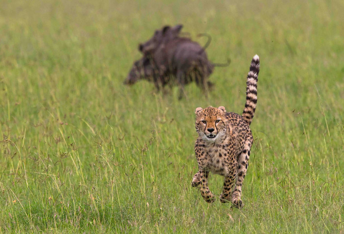 cheetah-warthogs-maasai-mara