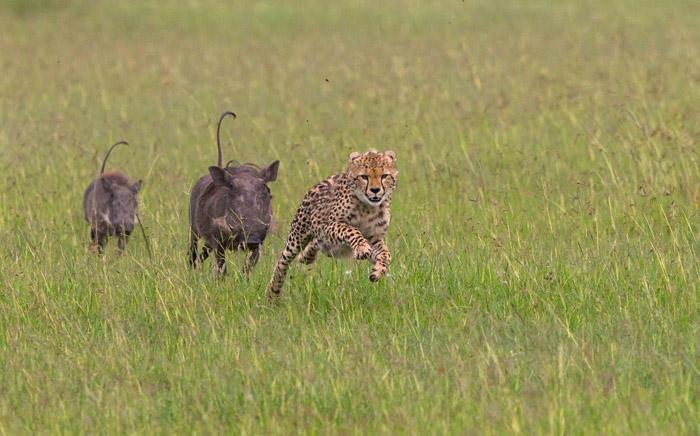 cheetah-warthogs-mara-kenya