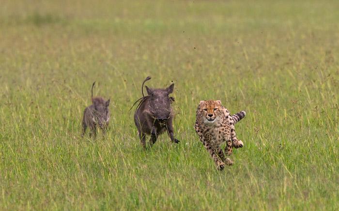cheetah-warthogs
