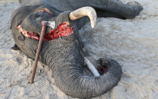 colin-bell-elephant-poaching