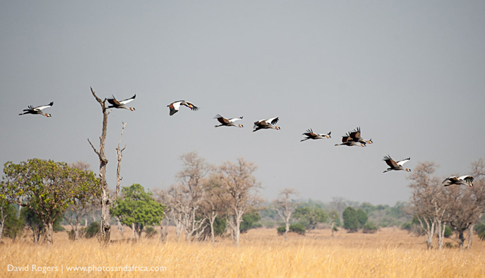 Crowned cranes during the dry season ©David Rogers