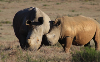 dehorned-rhinos