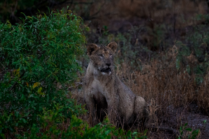dirty-lion-wildlife-photography