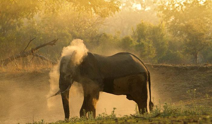 dusty-elephant-in-south-luangwa