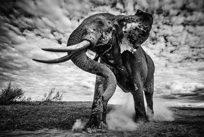 elephant-bull-walking-to-the-water-at-amboseli-pieter-ras-africa-geographic-photographer-year-2016