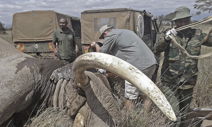 Famous Big Tusker Tim Speared Africa Geographic