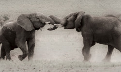 elephants-fighting