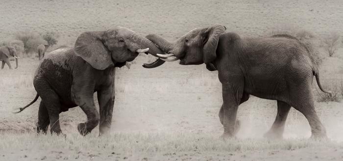 elephants-fighting