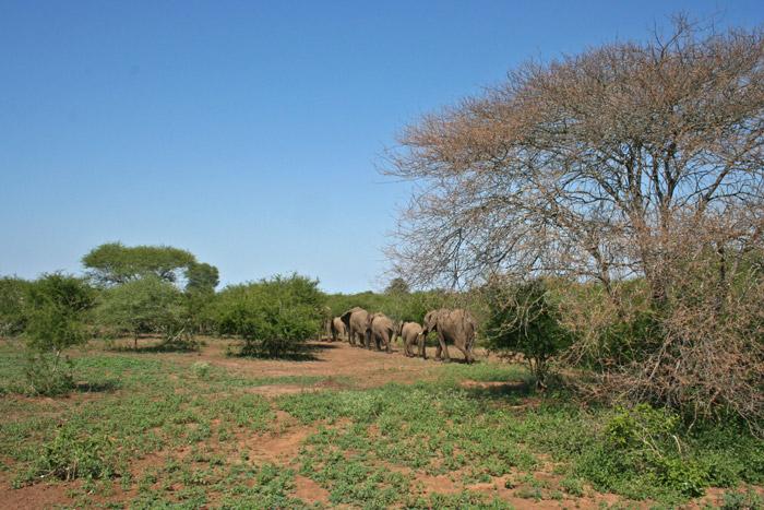 elephants-kruger