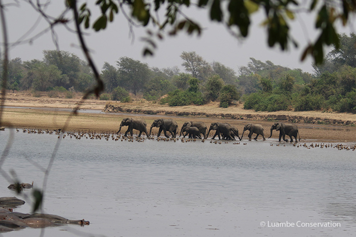 elephants-luambe-national-park