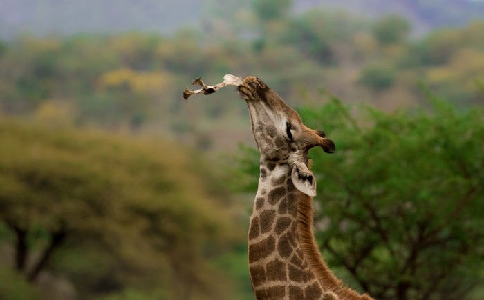 giraffe-moment-wildlife-photography