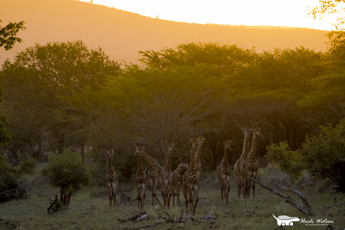 giraffe-herd-wildlife-photography