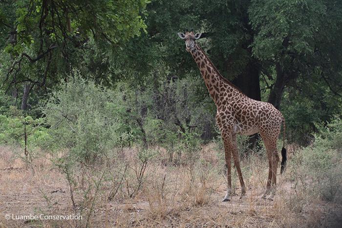 giraffe-luambe-national-park