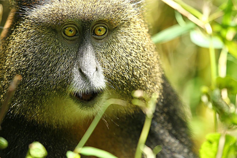 golden-monkey-looking-at-camera-jytte-fredholm-ferreira