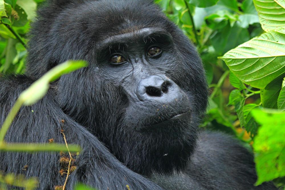 gorilla-male-eye-contact-jytte-fredholm-ferreira