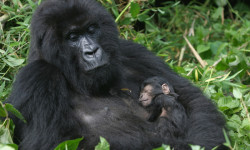 gorilla-mother-and-sleeping-baby-gorilla