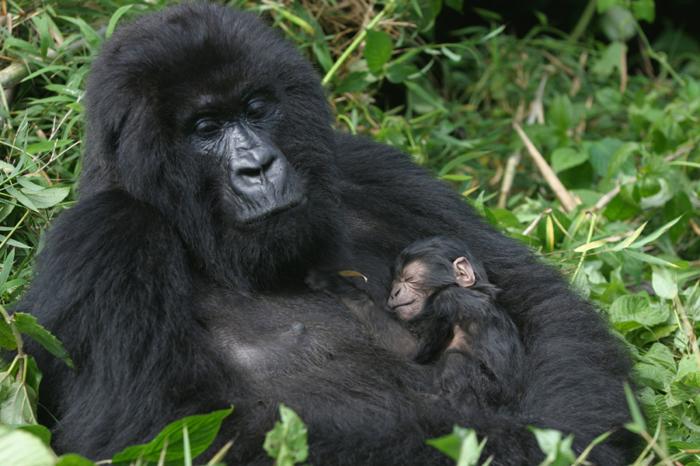gorilla-mother-and-sleeping-baby-gorilla