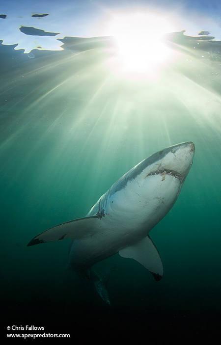 great-shark-white