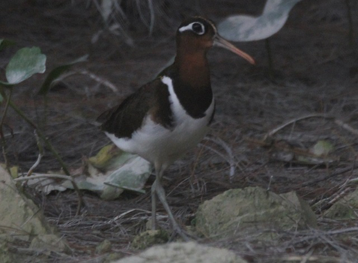 greater-painted-snipe-Perseverance-island-Mahe