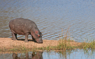 hippo-kruger