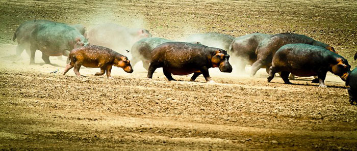 hippos-in-dust-in-south-luangwa