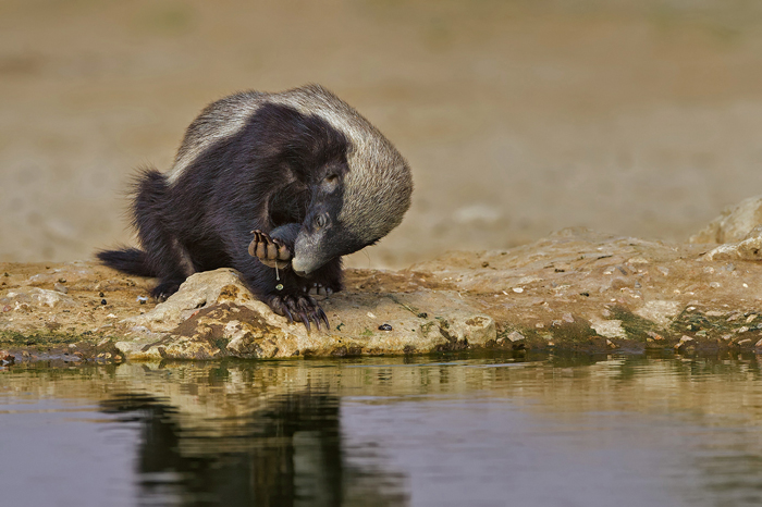 A honey badger at Cubitje Quap waterhole in the Kgalagadi Transfrontier Park ©Willem Kruger