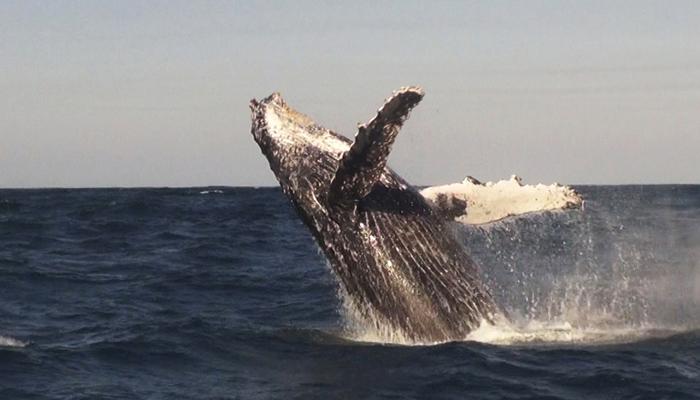humpback-breach-whale