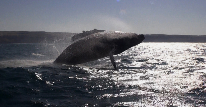 humpback-whales-sea