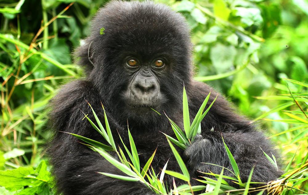 juvenile-gorilla-eating-jytte-fredholm-ferreira