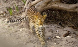 leopard-bettys-bay