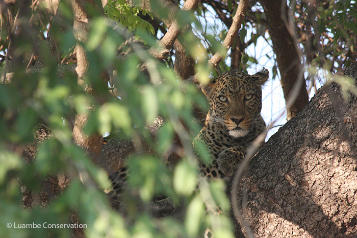 leopard-luambe-national-park