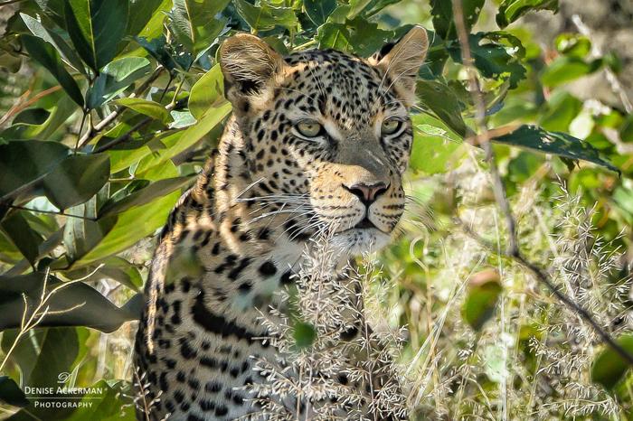 leopard-sighting-on-safari-with-kids