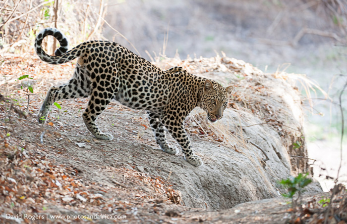 Luangwa leopard sourcing its next meal ©David Rogers
