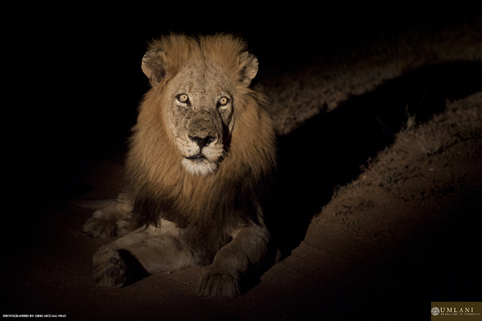 following lions into the night