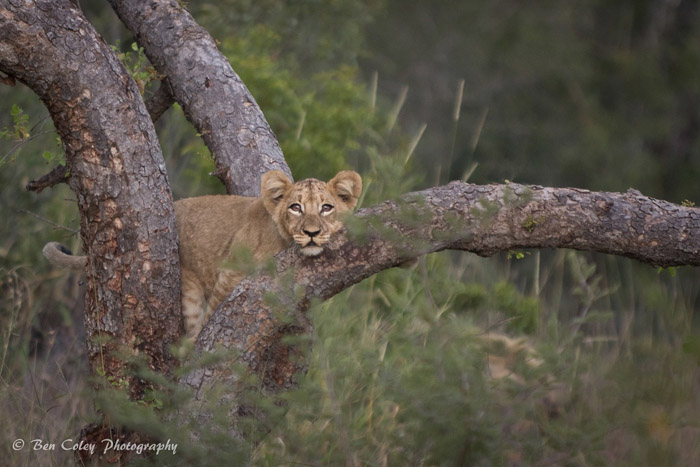 Growing From A Lion Cub To An Adult Male