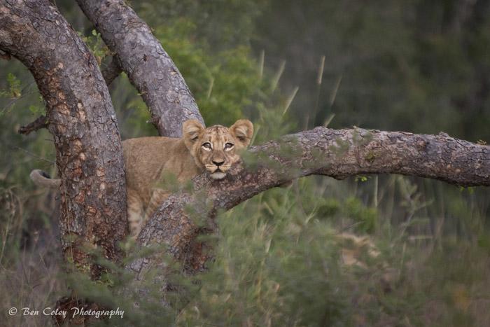 lion-cub-in-tree