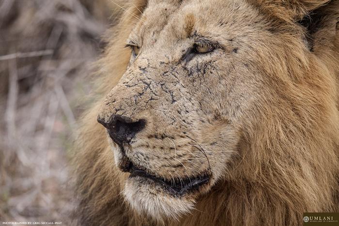 lion-scars