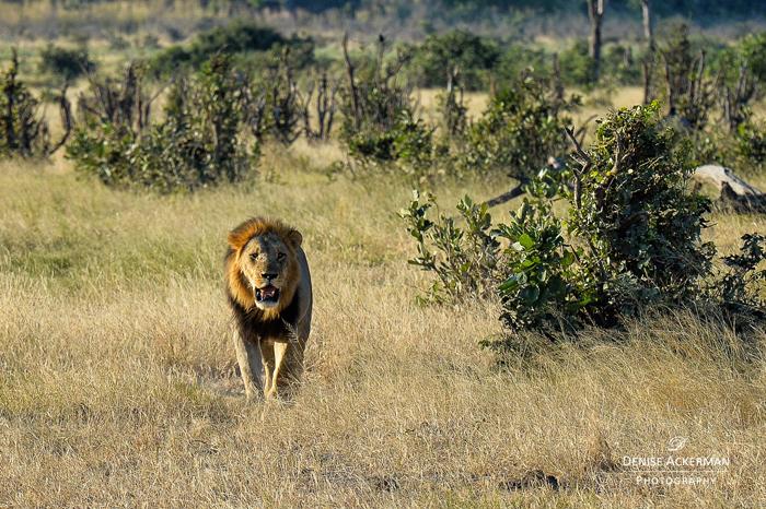lion-sighting-on-safari-with-kids