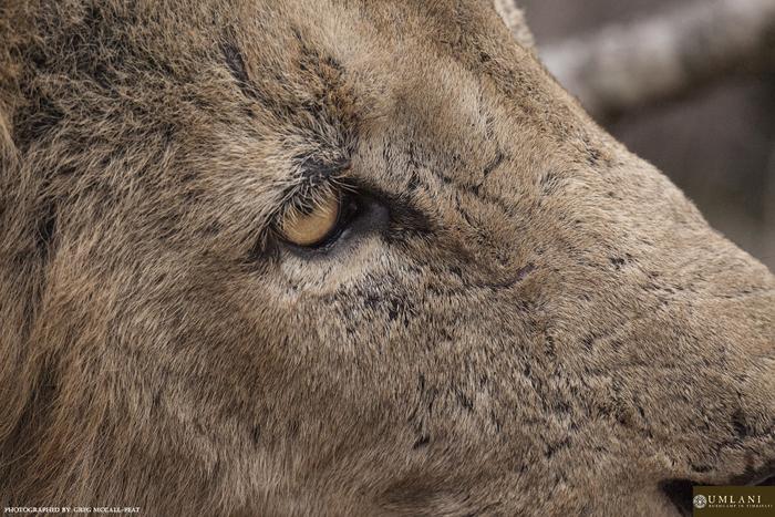 lion-up-close