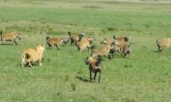 lion-vs-hyenas
