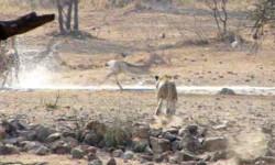 lioness-flop-bunt