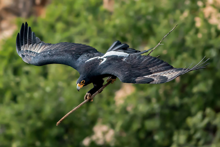 black-eagle-taking-a-branch-to-the-nest-in-walter-sisulu-national-botanical-garden-ernest-porter-africa-geographic-photographer-year-2016