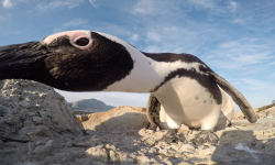 penguin-gopro