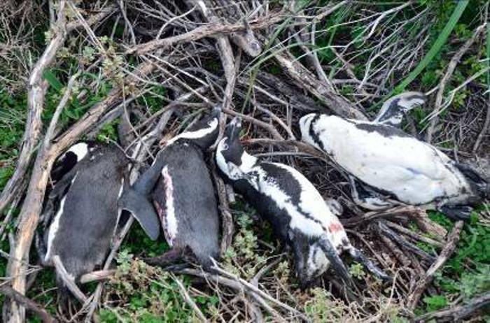 African-penguin-leopard-bettys-bay