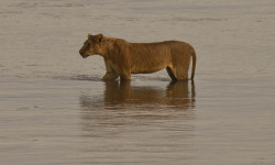 robin-lioness