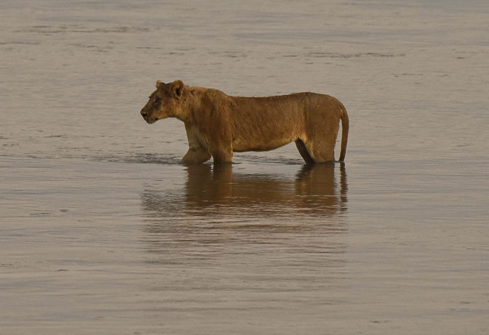 lioness-crossing-the-river