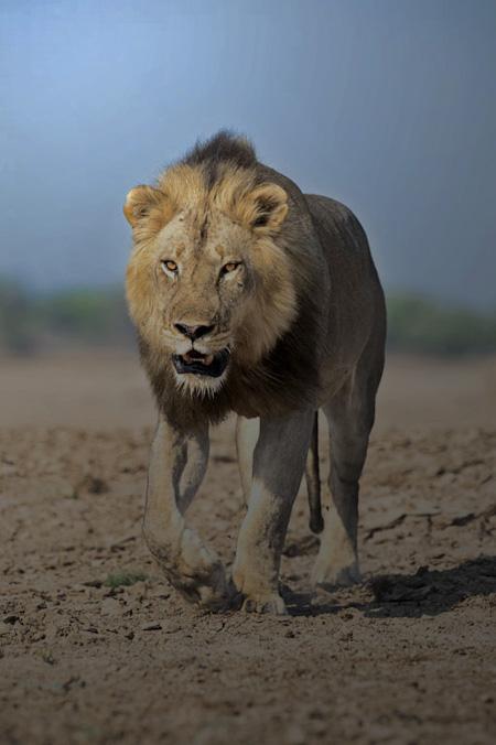 male-lion