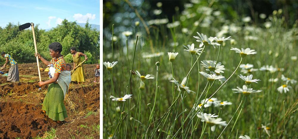 rwanda-agriculture-pyrethrum