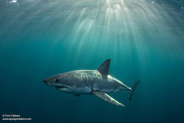 shark-cape-town